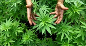 marihuana léčí