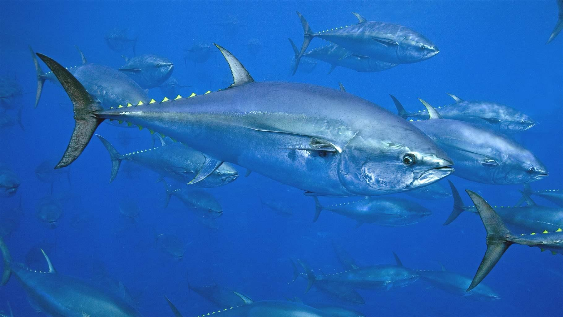 Tuňák zdroj omega marine forte
