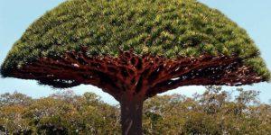 dračí krev strom