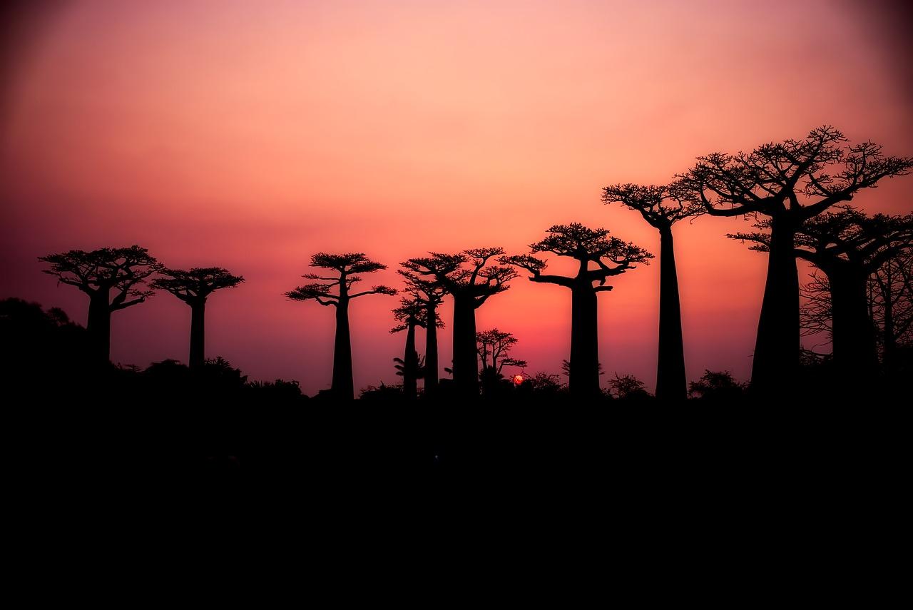 baobab stromy